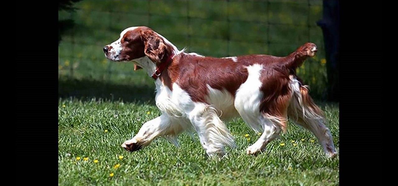 Killagay Tudur Welsh Springers - Dog Information Page - Smokey